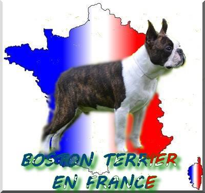 BOSTON TERRIER EN FRANCE