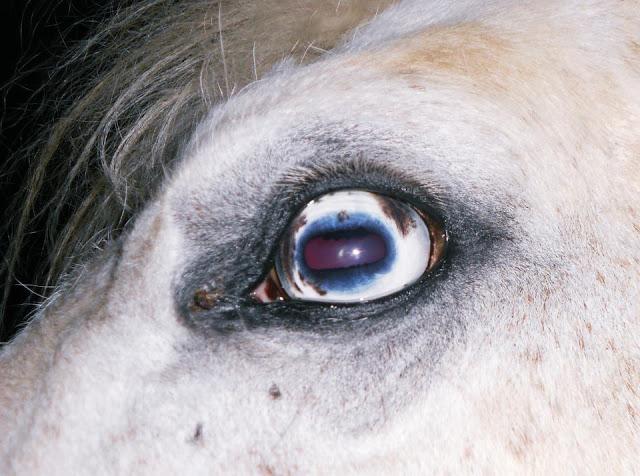 oeil de chevre