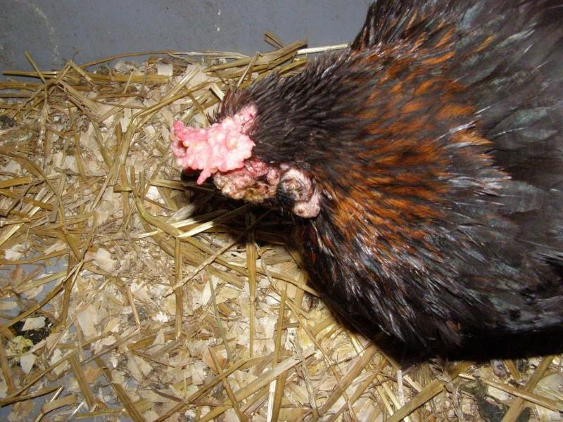 poule marans malade