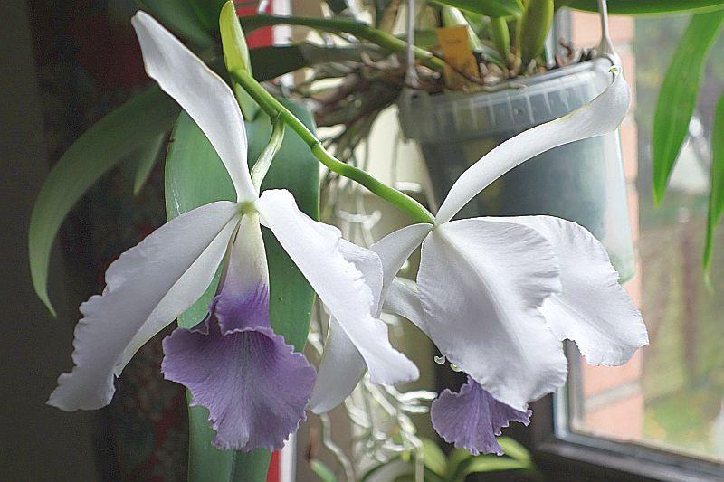 was bl ht im oktober alle naturformen und prim rhybriden au er phalaenopsis seite 5. Black Bedroom Furniture Sets. Home Design Ideas