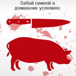 Забой свиней их разделка в домашних условиях
