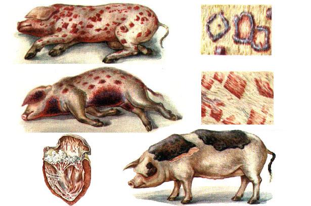 болезни свиней и их симптомы фото