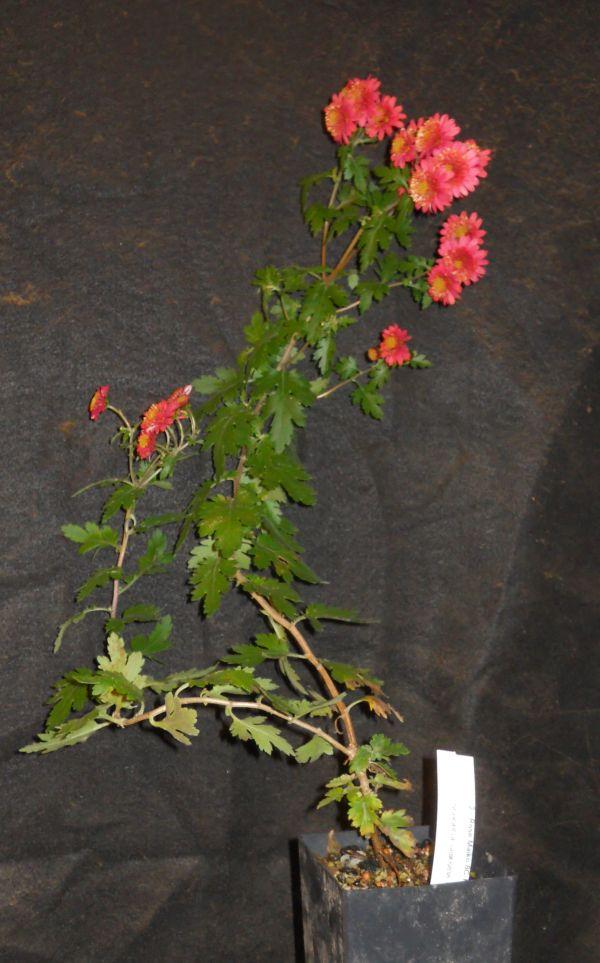 Roses In Garden: Chrysanthemums For Bonsai Or Kusamono