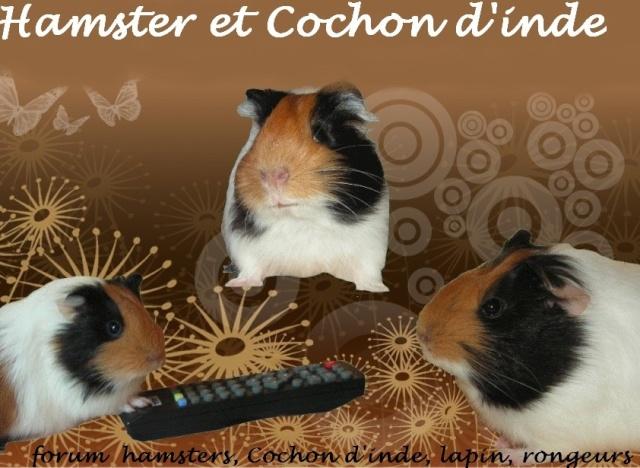 Hamster, Cochon d'inde et rongeurs