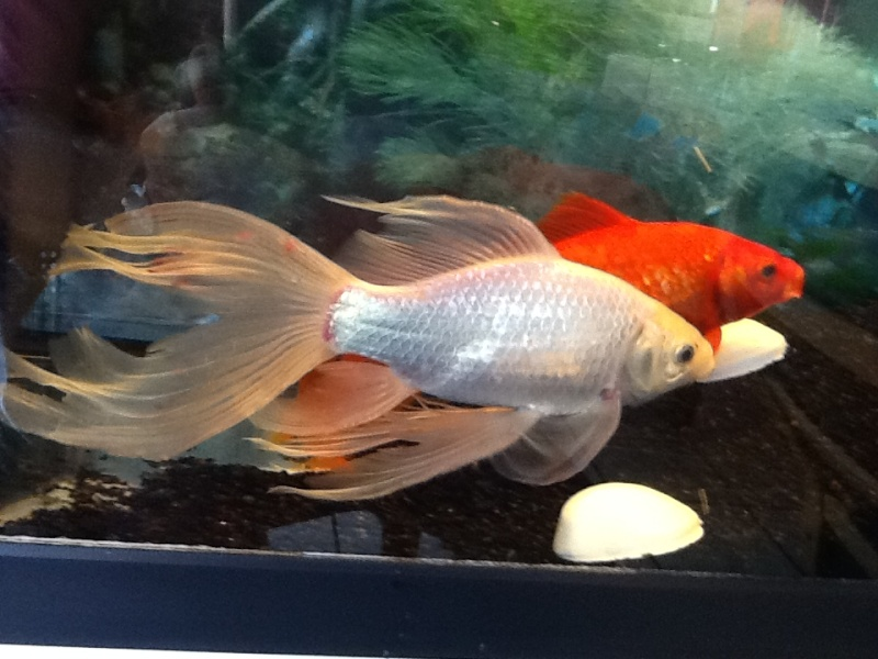 Help poisson rouge for Poisson rouge a donner