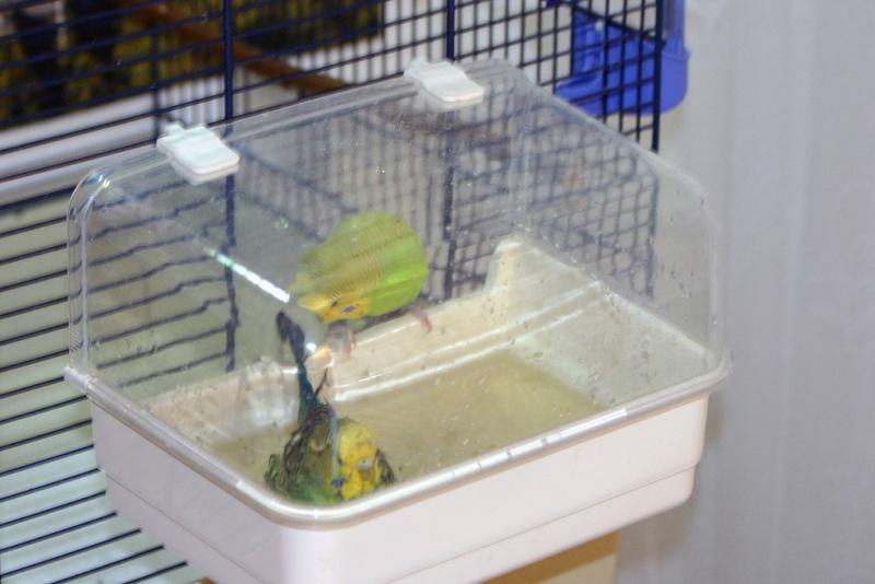 Как сделать для попугая купалку
