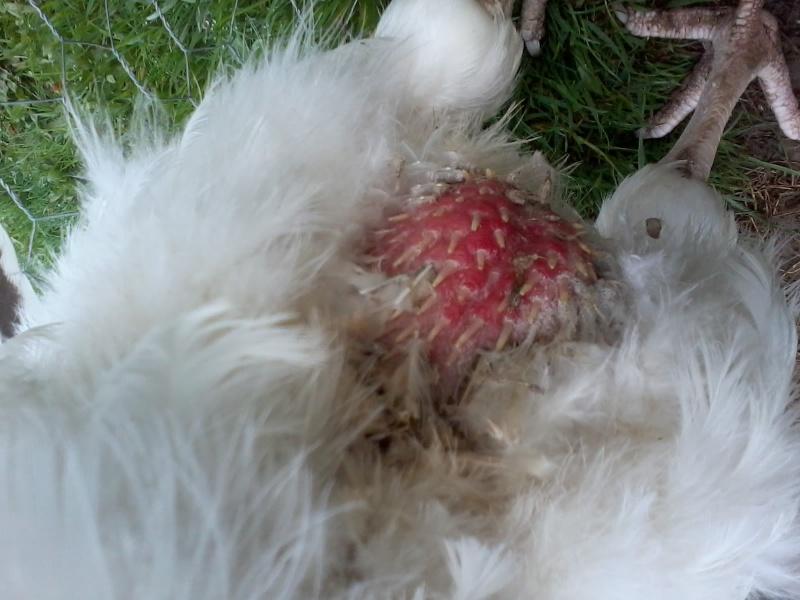 Perte de plumes et croupion gonflee for Maladie poules perte plumes